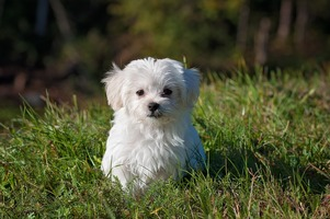 A small Maltese puppy in the grass