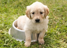 A Golden Retriever puppy is sitting in his food tray