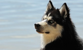 A Siberian Husky at the lake